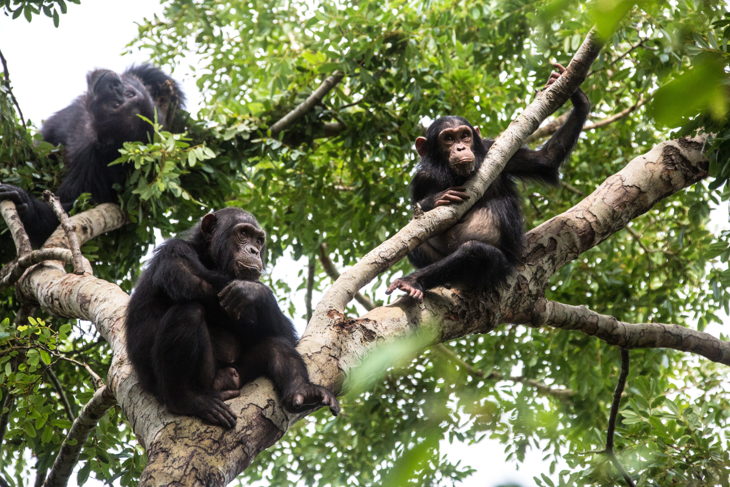 chimpanzees in a forest